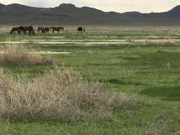 Wild Horses outside of the Simpson Springs stop on the Pony Express Trail 2019-06-22